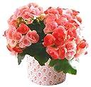 リーガース ベコニア フラワーギフト 鉢植え 4.5号鉢 (ベイビーピンク)