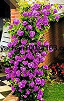 Swansgreen 6:ローズクライミングローズ100ピースフロアグレートプロモーション植物プランター盆栽のための花の種
