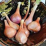 野望エシャロット種子の1/2グラム種子