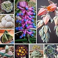 カラー4:200個/袋ミックスリトープ偽性交種子種子盆栽多肉植物花Eh7E 01