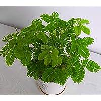 損失の促進!かすかな草の盆栽、ミモザpudicaリン、葉ミモザpudicaセンシティブ - 30シード粒子、#HA31Y6:ブルゴーニュ