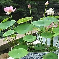 Kicode 水生の花 植物の種子 池装飾花 20のパック ミックス包装 水槽 屋内と屋外