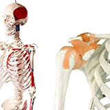 人体骨格模型 脊柱可動型の全身骨格模型 筋肉起始 170cm 等身大 高精度 - 1.7295