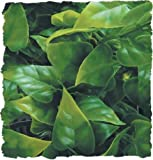 Amazon.co.jpZoo Med Naturalistic Bush Plant Mexican Phyllo, Large by Zoo Med