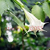 100チョウセンアサガオの種子レアエキゾチックな香りの花植物紫マンダラムーンフラワーチョウセンアサガオの種子の混合色(少なくとも5色)