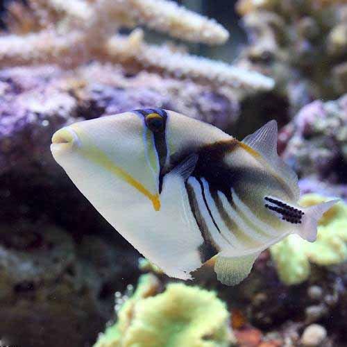(海水魚)ムラサメモンガラ Mサイズ(1匹) 本州・四国限定[生体]