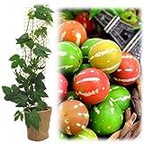 緑のカーテン栽培セット:オキナワスズメウリ