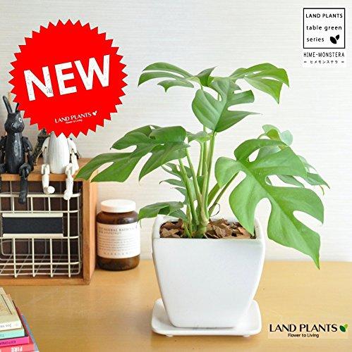 LAND PLANTS 【観葉植物】 ヒメモンステラ 白色台形陶器鉢 B06XCBJJLQ 1枚目