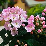季節の鉢植え ニオイ桜(においざくら) ほのかな香りのするやさしいピンク色の桜のような花 秋の花ギフト