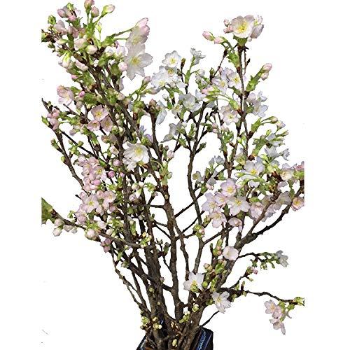 RoomClip商品情報 - 花木屋 啓翁桜 90cm 5本組 花材 生花 切花 年賀 歳暮 プレゼント