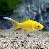 (国産金魚)ゴールデンコメット 長尾(1匹) 本州・四国限定[生体]