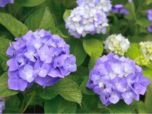 【6か月枯れ保証】【春に花が咲く木】アジサイ 0.2m