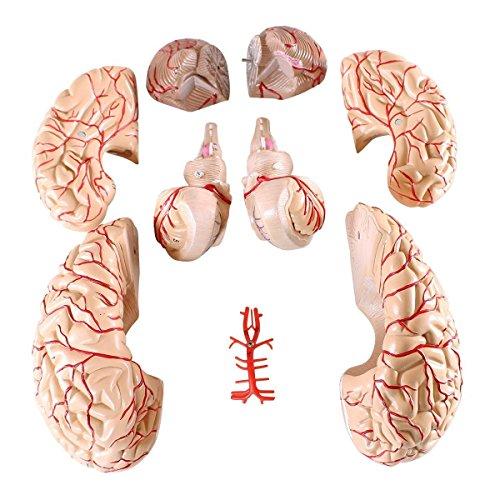【tshop】 人体模型 脳 模型 実物大 9分解 取り外し可能 取外し可能 9 パーツ 等身大 医療 実験 高性能 大脳 小脳 間脳 中脳 橋 延髄 前頭葉 頭頂葉 側頭葉 後頭葉 延髄 小脳 脳底動脈