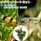 (熱帯魚 水草)ビギナースタートセット ラスボラ・ヘンゲリー(6匹) +クラウンローチ(2匹) [生体]
