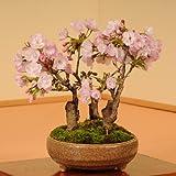 盆栽:旭山桜(3本仕立て)*【春に開花】