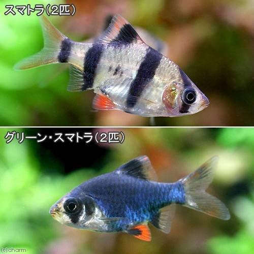 (熱帯魚)スマトラ(2匹)+グリーンスマトラ(2匹) 北海道・九州・沖縄航空便要保温