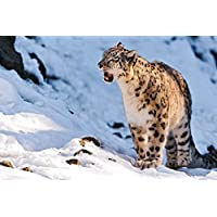 スノーレオパルド吠える動物 - #50709 - キャンバス印刷アートポスター 写真 部屋インテリア絵画 ポスター 90cmx60cm