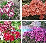 新着ホームガーデンPlant500の種宿根草TWINKLE STAR、フロックスDrummondii Cuspidata花の種