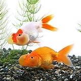 (国産金魚)水泡眼(1匹) 本州・四国限定[生体]