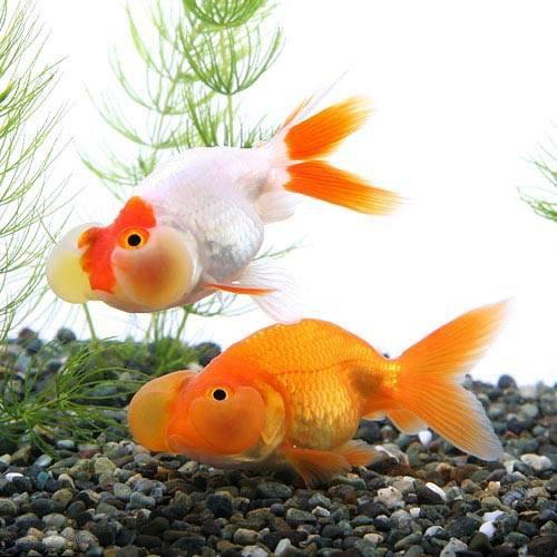 (国産金魚)水泡眼(1匹)