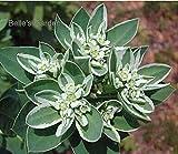 送料無料の100pcsユーフォルビアMarginata種子観葉植物Euphorbieae植物出芽率90%