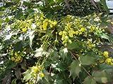 【6か月枯れ保証】【葉や形を楽しむ木】ヒイラギナンテン 15cmポット