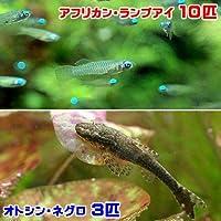 charm(チャーム) (熱帯魚) アフリカン・ランプアイ(10匹) +オトシン・ネグロ(3匹) 【生体】