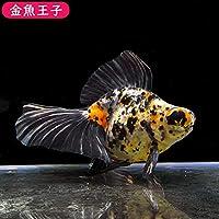 【金魚王子】キャリコ蝶尾 (16センチ前後) 個体番号:asd652 金魚 きんぎょ 生体 蝶尾」 厳選個体