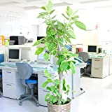 観葉植物 フィカス・アルテシーマ 10号※バスケット鉢カバー付