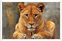 ライオン雌ライオンシットプレデター56460のティンサイン 金属看板 ポスター / Tin Sign Metal Poster of Lion Lioness Sit Predator 56460