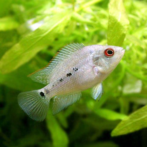 (熱帯魚) フラワーホーン Sサイズ(3匹) 本州・四国限定[生体]