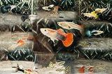 Sinbad (シンドバッド) グッピー 5種類ミックス 5ペア (10匹)(生体)