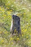 マーモット Marmot in a Wildflower Field Journal: Take Notes, Write Down Memories in This 150 Page Lined Journal