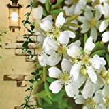 珍しい一重! 芳香高い一重咲 木香バラ(モッコウバラ) 白色 12cmポット長尺物(全高約60cm)