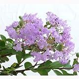 サルスベリ[百日紅]:サマー淡紫清(タンシセイ)4.5号ポット[樹高50cmのわい性種] ノーブランド品