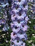 【PLANT】Delphinium Conspicuous デルフィニウム・コンセピキュオウス・苗