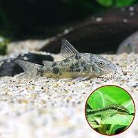 (熱帯魚)コリドラス・パレアタス(5匹) + オトシンクルス(3匹) 本州・四国限定[生体]