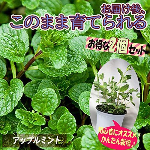 「アップルミント」ハーブBN硬質12cmポット大苗 自社農場から新鮮直送!!通年植付け可能!大苗なのでこのまま水をやるだけでも、そこそこの大きさに育てることが出来ます!本格的な収穫の為には大きな鉢か花壇に植え付けて下さい。【2個セット】【即出荷!プライム送料込み価格】