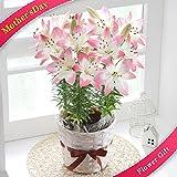 母の日 百合 ピンク シュガーラブ 鉢花 フラワーギフト プレゼント 花 ゆり ユリ 鉢花
