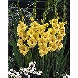 グラジオラス単色咲き:黄8球入り 2袋セット[春植え球根]