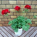 宿根草 シンジェンタの栄養系 ゼラニウム ( ゼラニューム ) カリオペ ダークレッド(ディープレッド) 5号鉢 2鉢セット 育てやすく、大きな花が魅力的・お届け先地域によっては別途送料が発生する場合があります。