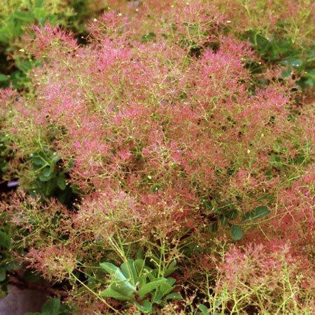 スモークツリー:ベストピンク4号ポット[鉢植え向きの小型品種] ノーブランド品