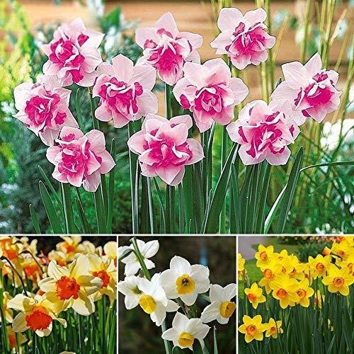 種子パッケージ:400の\ U002Fbagダブル水仙の球根パステルミックススイセン多年生の花の種