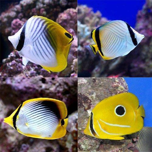 (海水魚)沖縄産 チョウチョウウオミックス(3匹) 本州・四国限定[生体]