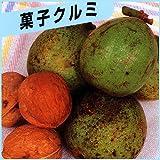 胡桃(クルミ)苗木 菓子くるみ
