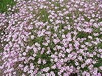 花の種子赤ちゃんの呼吸Rozovaya - ピンク(Gypsophila elegans)Annuals