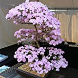 Aprettysunny Sakura Tree Seeds Sakura Seeds Healthy 10pcs/Bag Mixed Color Yard Planters