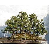 赤石五葉松 根連なり 大物 樹齢:約120年