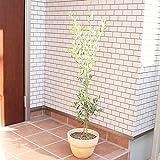 オリーブの木 テラコッタ鉢 テラコッタ植え 観葉植物 ガーデニング 庭木 ベランダ テラス インテリア