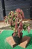 春の花木☆アセビ樹高0.4m前後 赤花 とても可愛らしいです♪